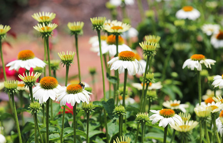 echinacea: Bumblebee on white echinacea