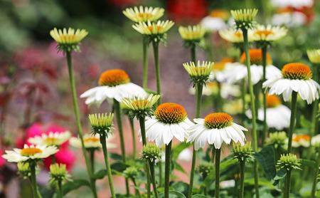 coneflowers: White echinacea flowers