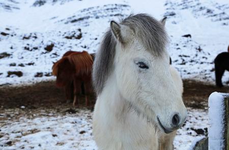 icelandic: White icelandic horse - Iceland Stock Photo