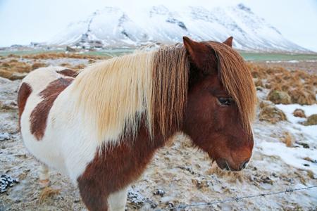 icelandic: White-brown Icelandic horse in profile - Iceland Stock Photo