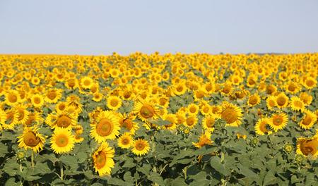 north dakota: Sunflowers field - North Dakota