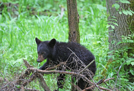 great smoky mountains national park: Baby black bear - Great Smoky Mountains National Park, Tennessee