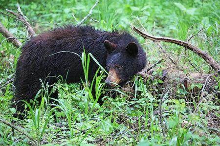 oso negro: Salvaje oso negro - Tennessee