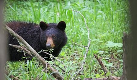smoky: Watching bear between trees - Great Smoky Mountains National Park, Tennessee