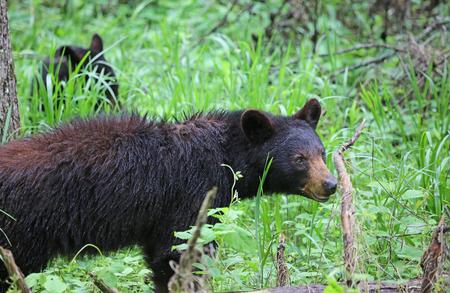 smoky mountains: Mama bear - Smoky Mountains, Tennessee Stock Photo