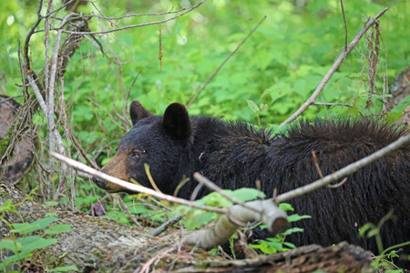 great smoky mountains: Wild black bear in forest - Great Smoky Mountains National Park - Tennessee