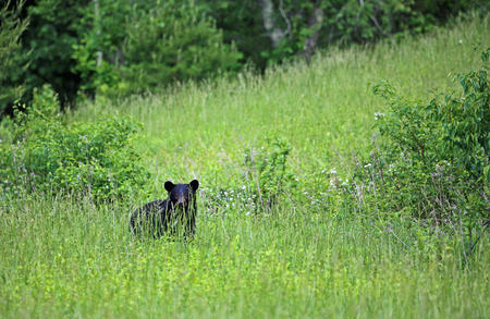 great smoky mountains national park: Black bear on the hill - Great Smoky Mountains National Park, Tennessee