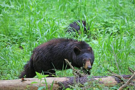 great smoky national park: Mama bear watching for her cub - Great Smoky Mountains National Park, Tennessee