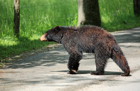 oso negro: Black bear crossing road - Great Smoky Mountains National Park - Tennessee