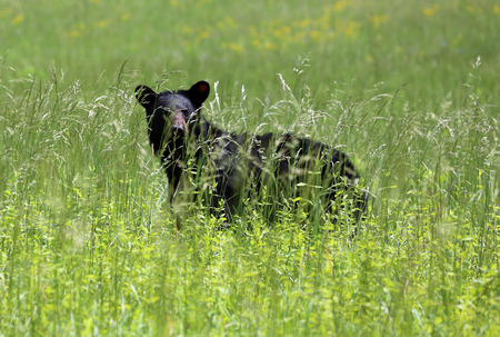 great smoky mountains national park: Black bear silhouette in grass - Great Smoky Mountains National Park, Tennessee