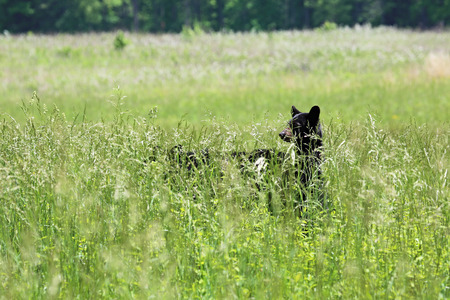 great smoky mountains national park: Baby bear standing in grass - Great Smoky Mountains National Park, Tennessee