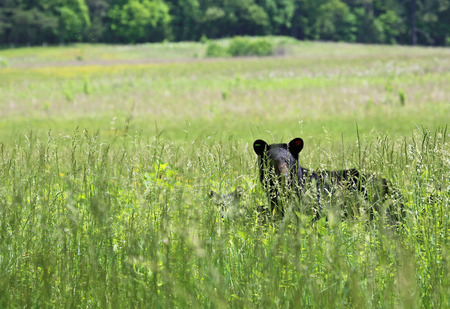 great smoky mountains: Bear in grass - Great Smoky Mountains National Park, Tennessee Stock Photo