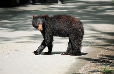 black bear: Wild black bear on the road - Tennessee