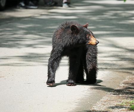 tennesse: Mama oso a la espera de su cachorro - Tennessee Foto de archivo