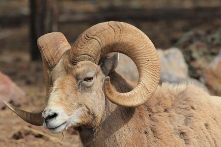 borrego cimarron: Bighorn sheep portrait Foto de archivo