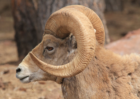 profile: Bighorn sheep in profile Stock Photo