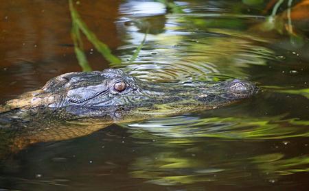 alligators: Alligators eye, Louisiana Stock Photo