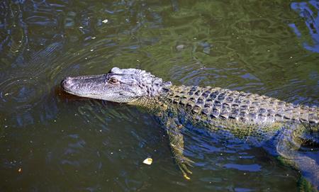 Alligator in Cajun Swamp, Louisiana