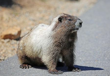 Wild marmot- Mount Rainier National Park, Washington