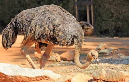 struthio camelus: Ostrich - struthio camelus