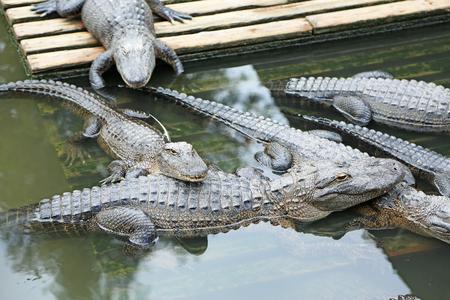 alligators: Group of alligators, Orlando, Florida