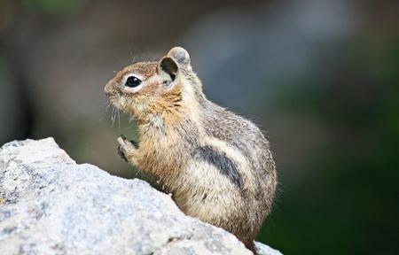 ardilla: Chipmunk en roca Foto de archivo