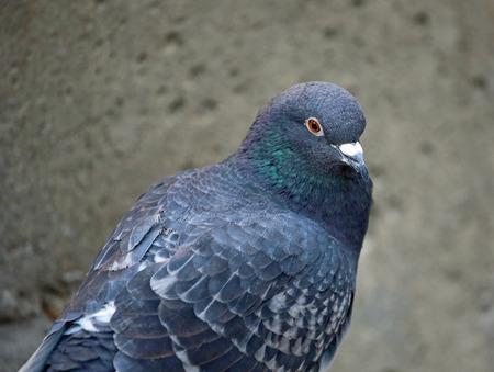beak pigeon: Portrait of pigeon
