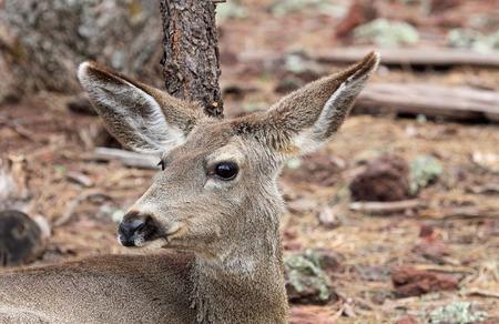 mule deer: Female deer portrait