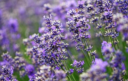 Lavender flowers, New Zealand