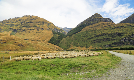 Sheep in Matukituki Valley, New Zealand Stock Photo