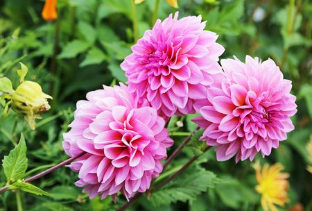 Three pink dahlia