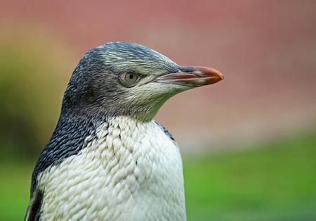 profile: Penguin in right profile, New Zealand