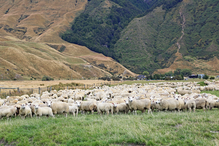 Sheep herd, New Zealand