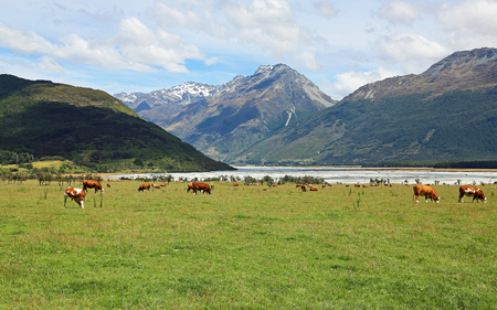 Cattle in Southern Alps, New Zealand