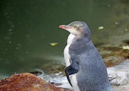 A penguin chick, New Zealand
