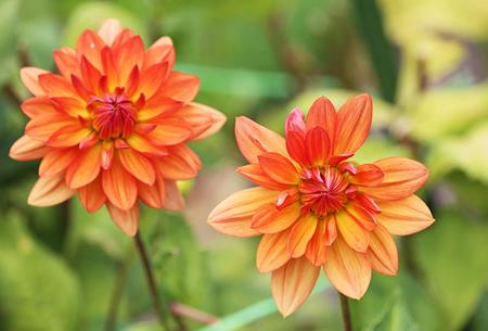 Two orange dahlia