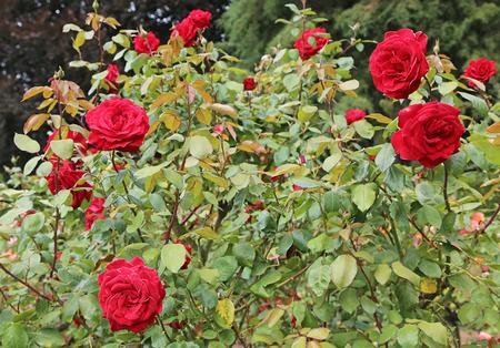 Cespuglio di rose rosse Archivio Fotografico - 92125420