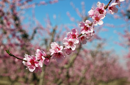 The branch with peach blossom, Blossom Trail, California