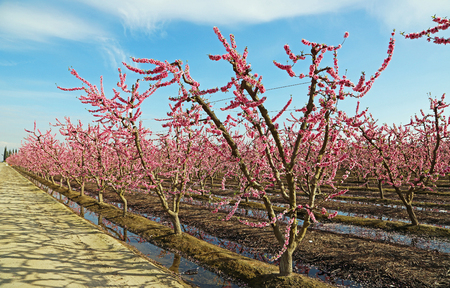 The road and peach orchard, Blossom Trail, California Stock Photo