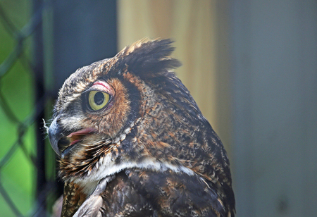 Great horned owl in profile, Tennessee Stock Photo