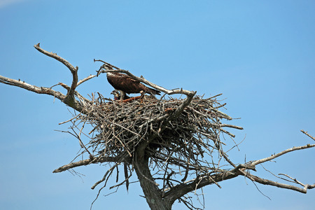 Osprey family, Tennessee