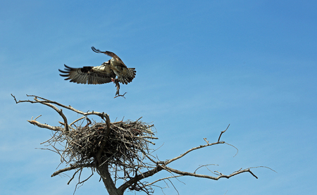 Osprey with a fish, Tennessee