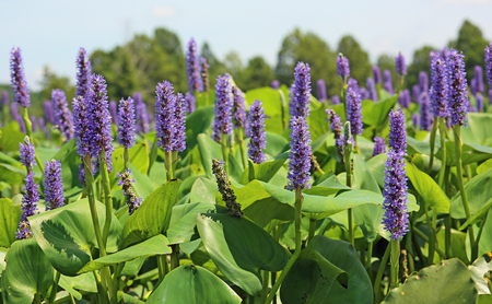 Purple pickerel weeds - Tennessee Stock Photo