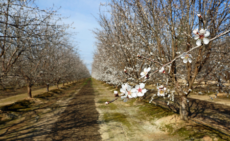 Almond blossom in the orchard, California Banque d'images