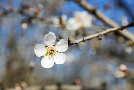 Almond flower close up, California