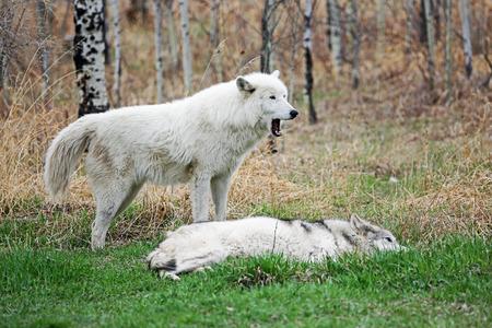Arctic wolfdog yawning, Canada, Yamnuska