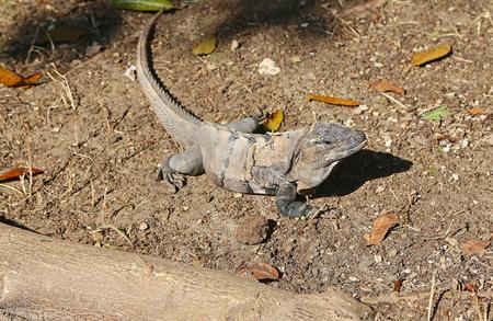 Grey iguana, Mexico