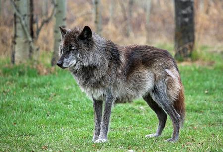 Wolfdog alpha Фото со стока