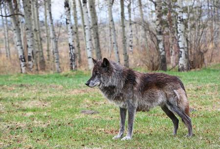 Black wolfdof alpha Banco de Imagens