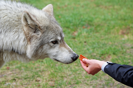 The temptation - feeding a wolf 免版税图像